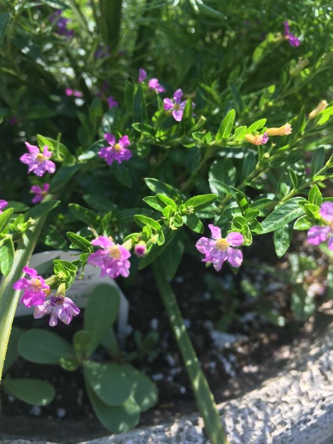 plaid & rose shade garden